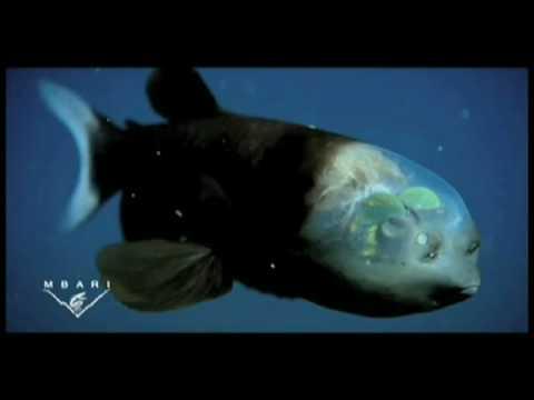 The barreleye fish 39 s amazing transparent head for Fish eye fun