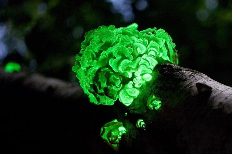 Foxfire Bioluminescence