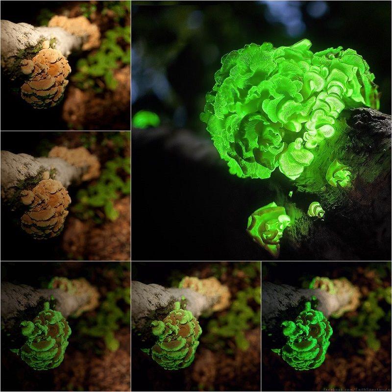 Bioluminescence Panellus Stipticus