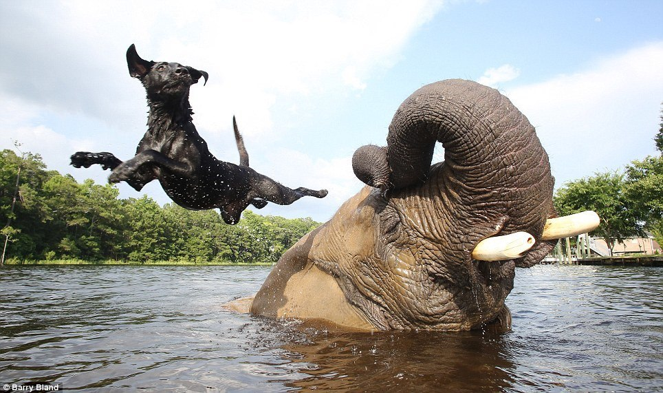 Dog Elephant Jumping