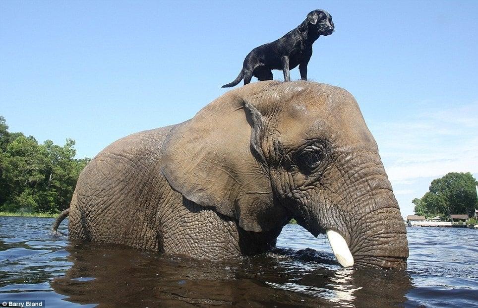 Dog Elephant Standing