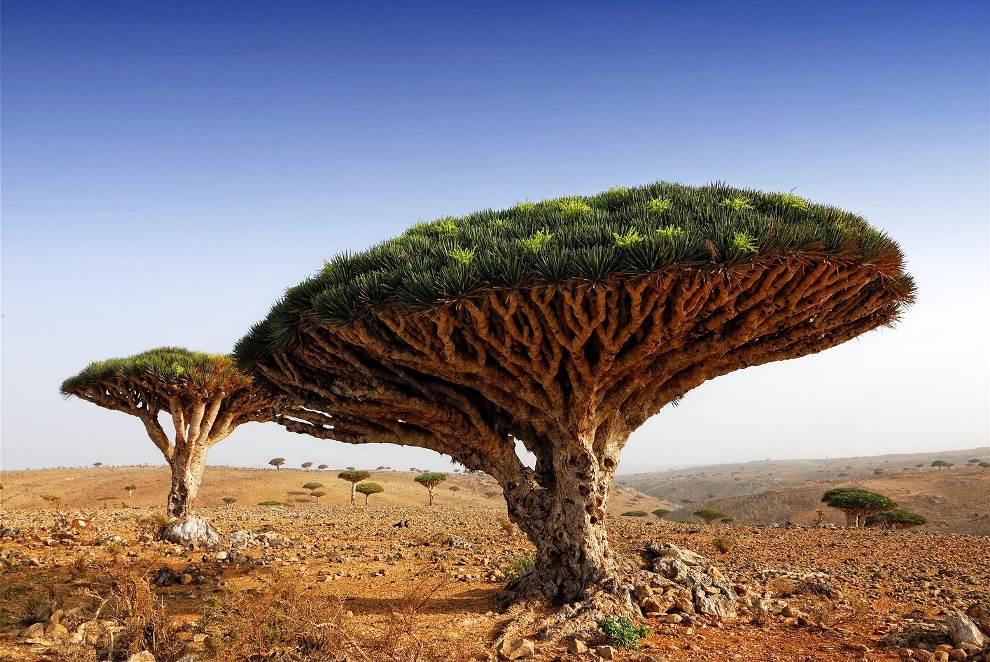 Dragon Blood Tree Yemen