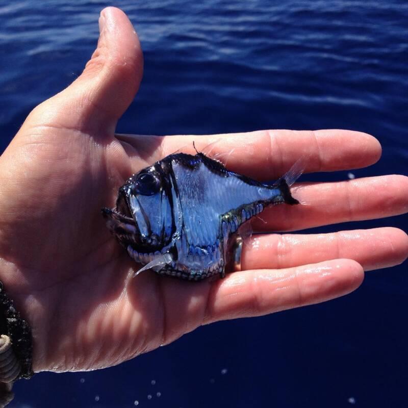 Fisher Holding Hatchetfish