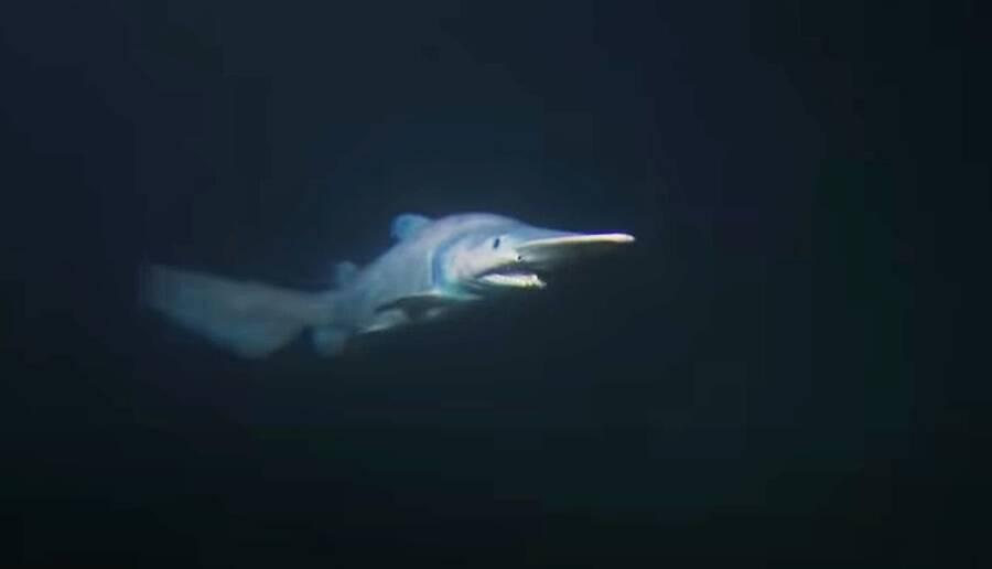 Goblin Shark At Sea