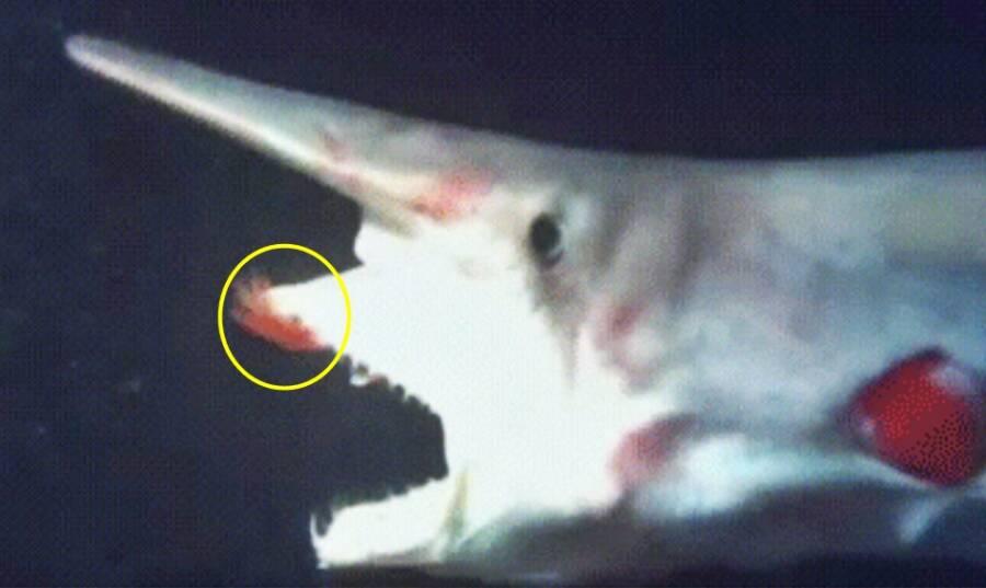 Goblin Shark Feeding