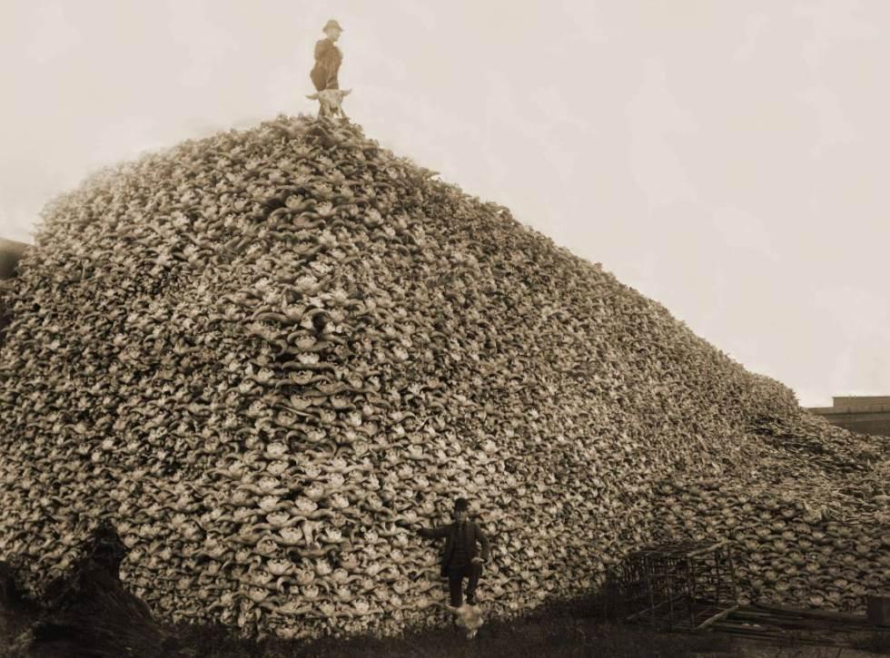 Bison Extinction