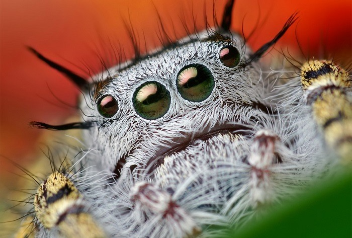 Jumping Spiders Up Close