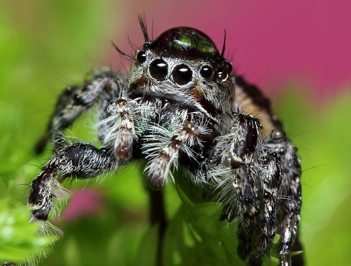 Jumping Spiders Water Drops Dark