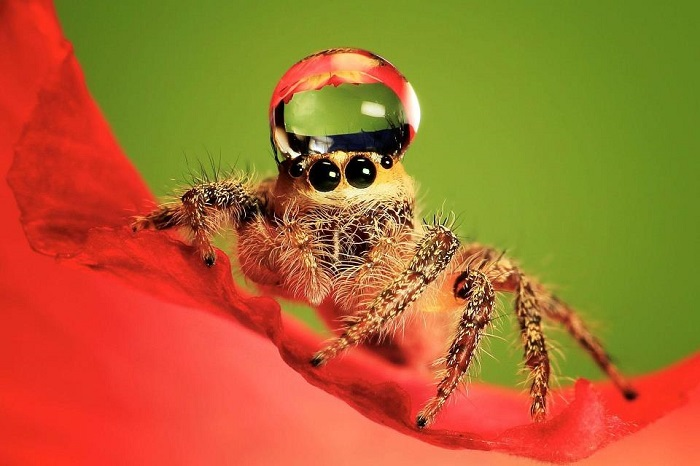 Jumping Spiders Water Drops Red
