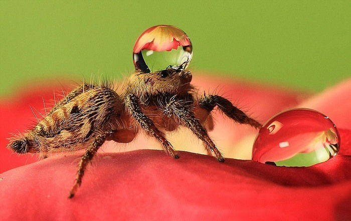 Jumping Spiders Water Drops Walking