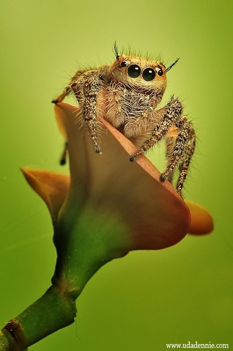 Jumping Spiders Wearing Water Hats