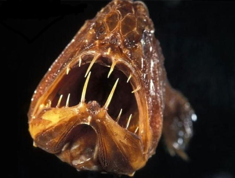 Fangtooth Photograph