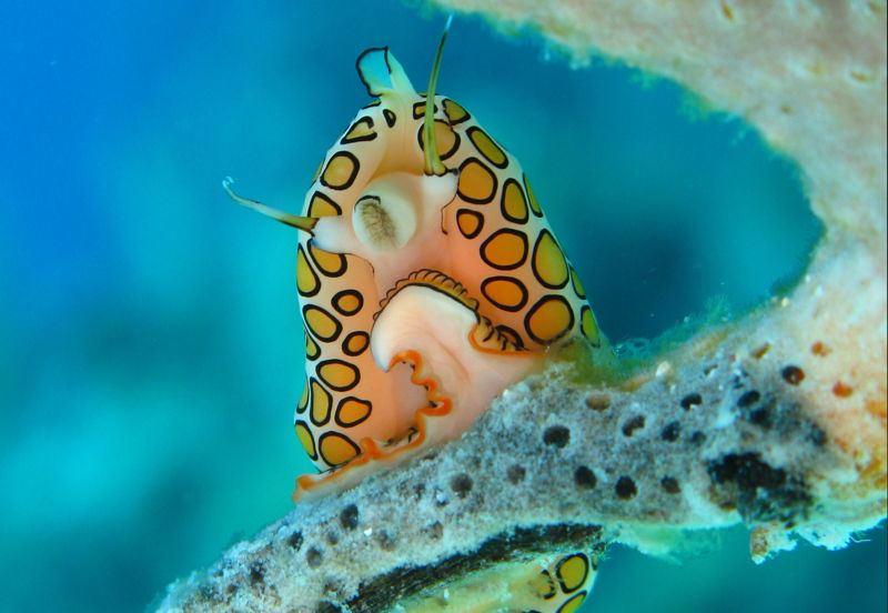 Tongue Snail Below
