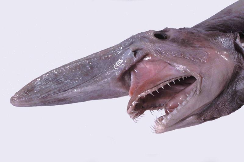 Goblin Shark Bizarre Ocean Creatures