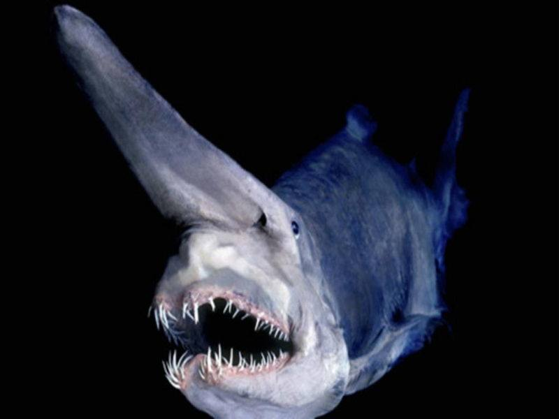Image of: Fish Bizarre Ocean Creatures The Goblin Shark All Thats Interesting Deep Sea Creatures Of The Most Mysterious Ocean Animals