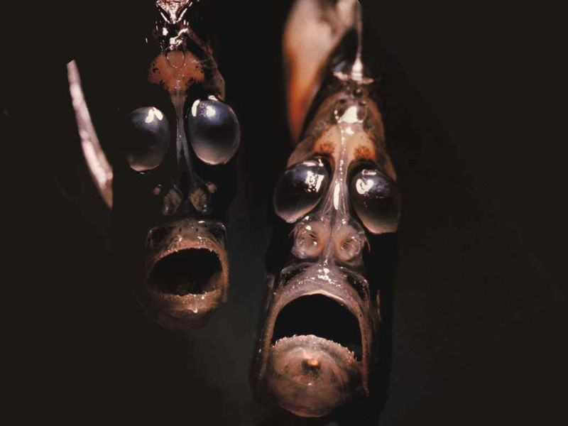 Bizarre Ocean Creatures Hatchet Fish
