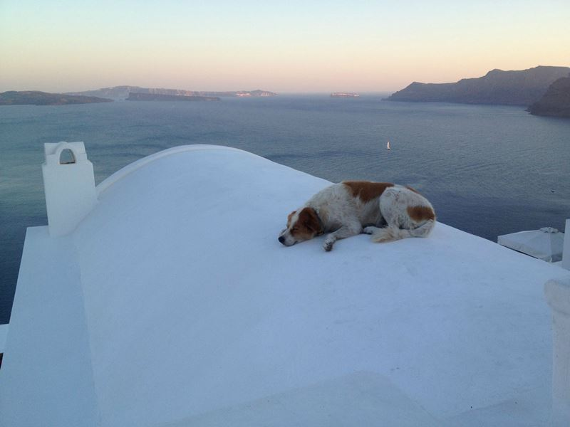 Dog In Santorini