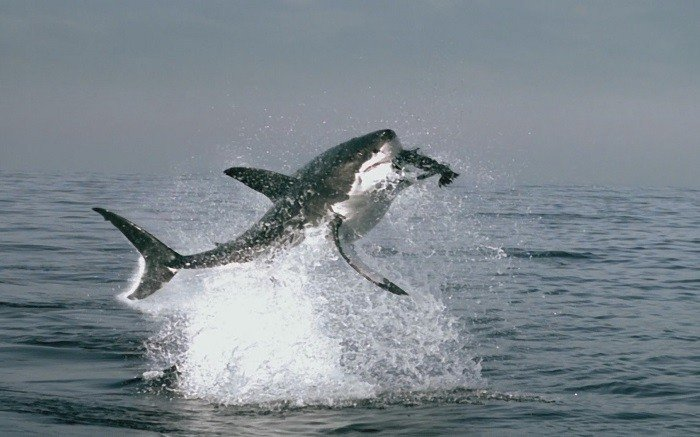 Coolest Sharks Great White Breaching