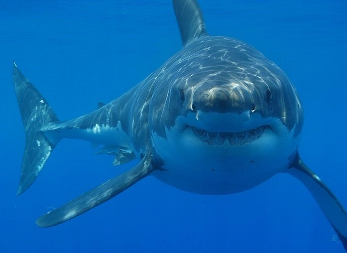 Coolest Sharks Great White Staring