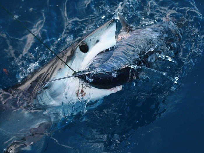 Coolest Sharks Mako Eating