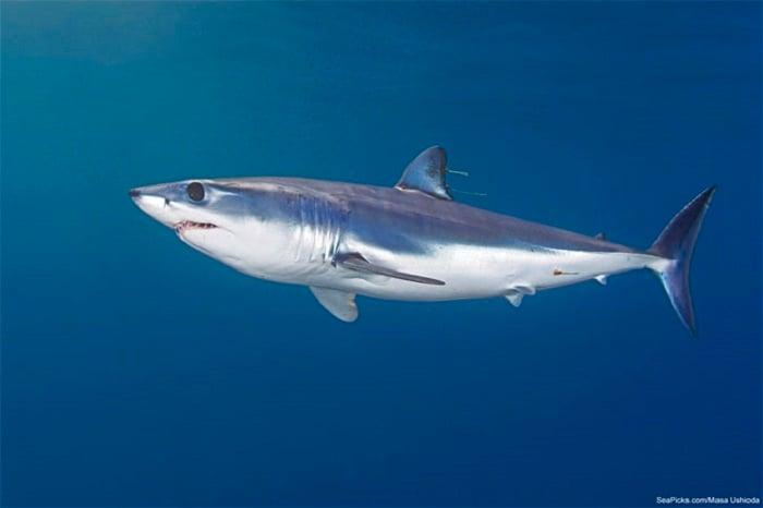 Coolest Sharks Mako Shark