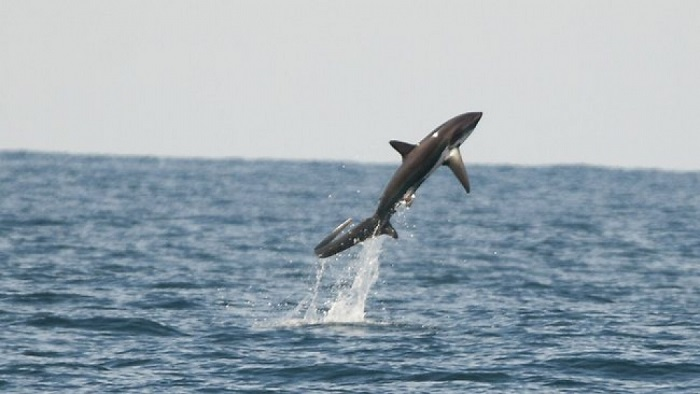 Coolest Sharks Thresher Leaping