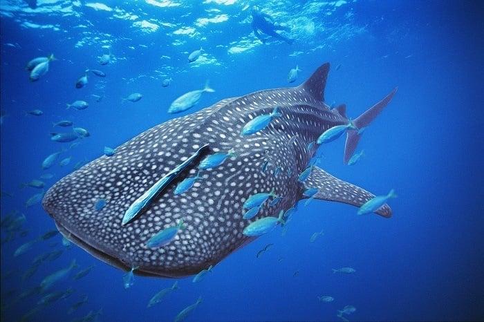 Coolest Sharks Whale Shark