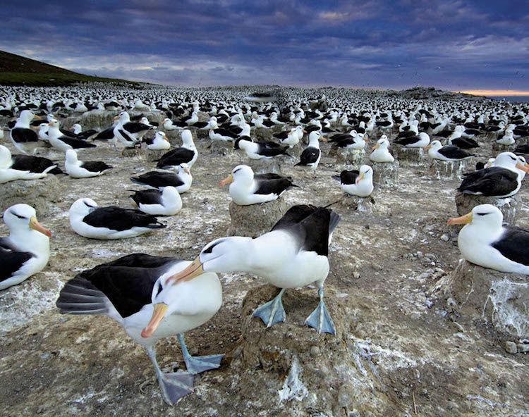 Animal Migration Photographs Albatrosses
