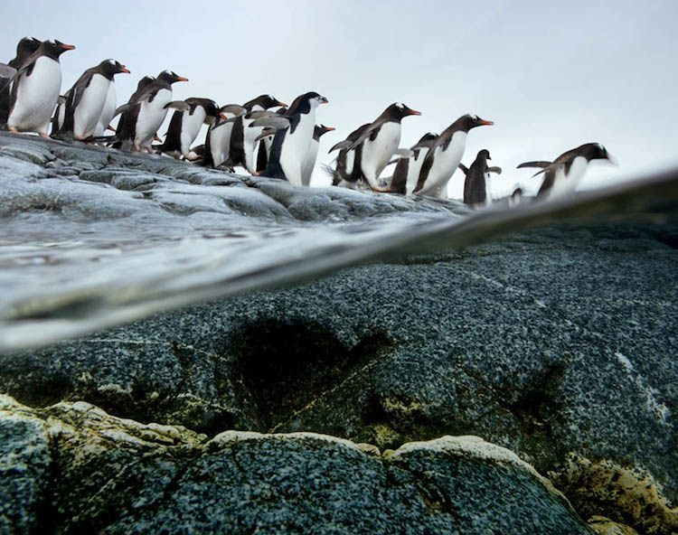 Gentoo Penguins Migration