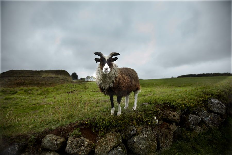 Goat In Iceland Photo