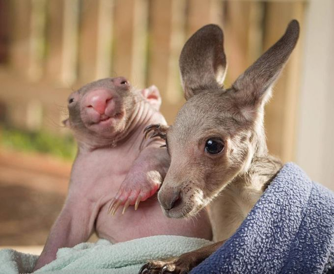 Kangaroo And Wombat Blanket