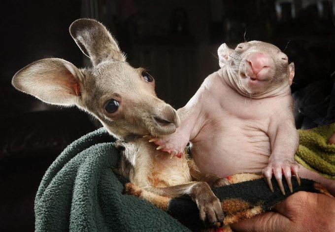 Kangaroo And Wombat Cuddling