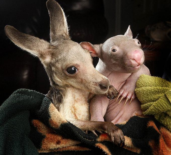 Kangaroo And Wombat Cute Couple