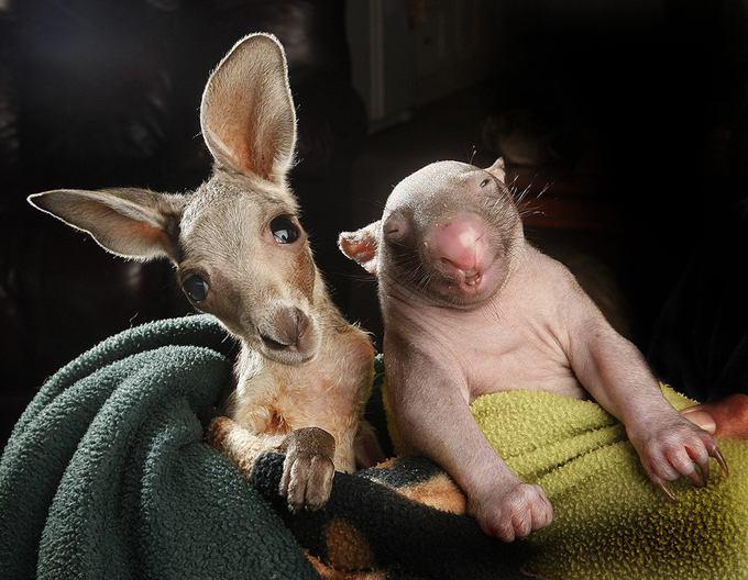 Kangaroo And Wombat Portrait