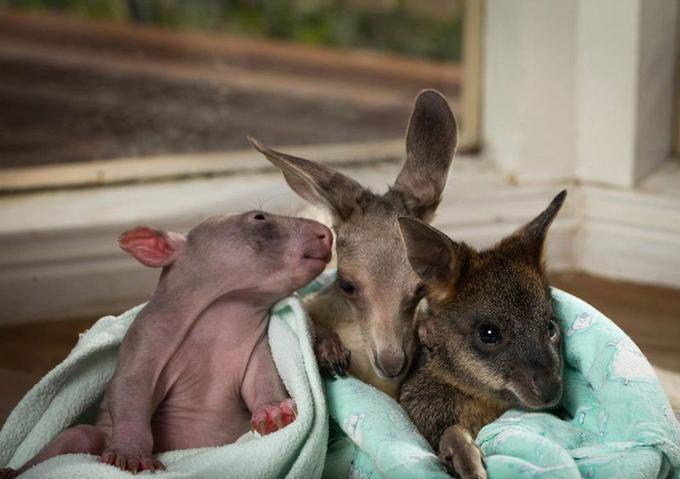Kangaroo And Wombat Whisper
