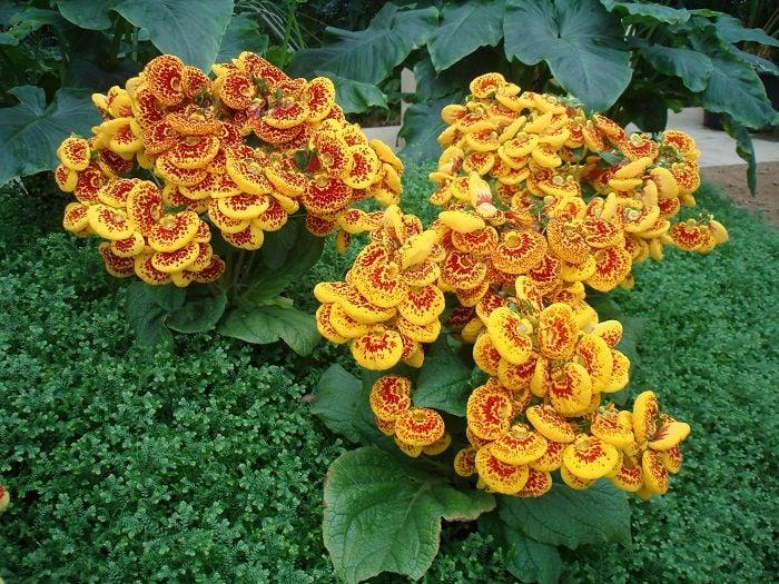 Greenhouses Of Laeken Yellow Flowers