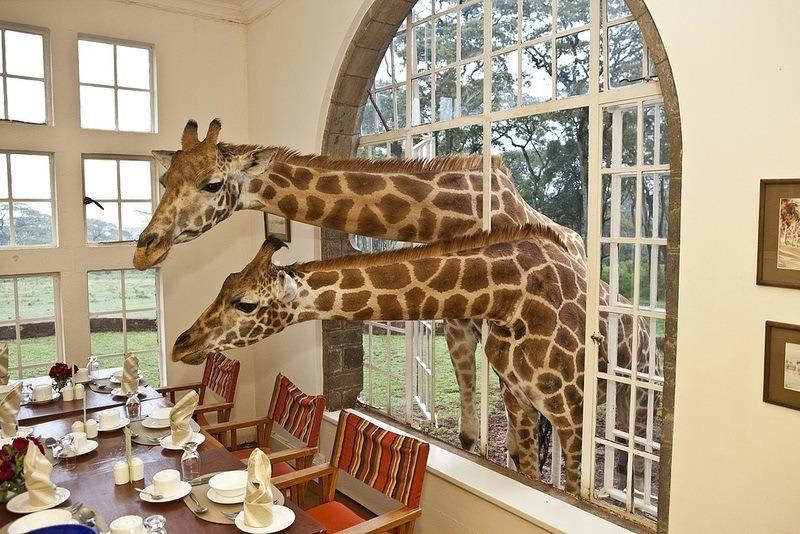 Eating Giraffes Dining Room