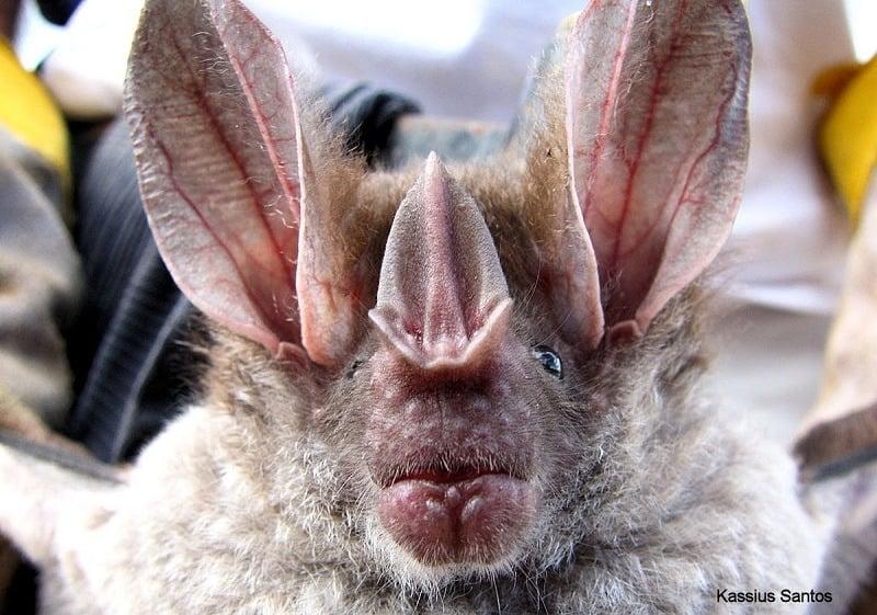 Ugliest Animals Big Eared Woolly Bat