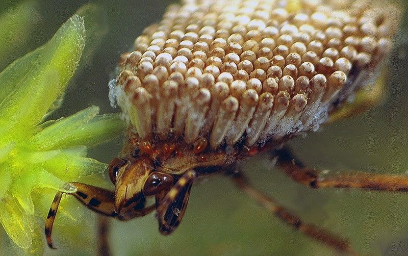 Ugliest Animals Giant Water Bug