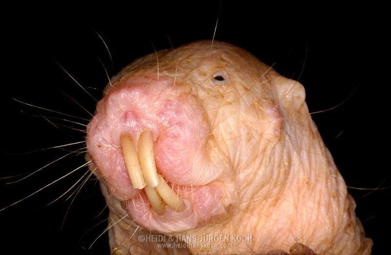 Ugliest Animals Naked Mole Rat Close Up