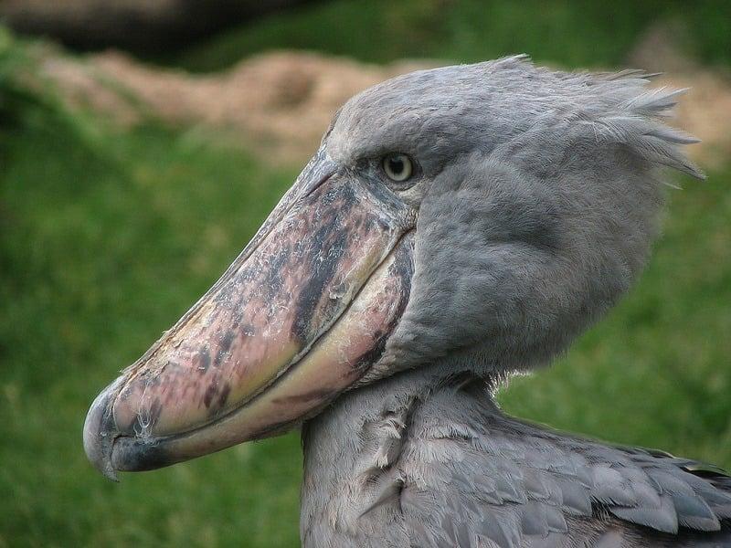 Ugliest Animals Shoebill Pelican