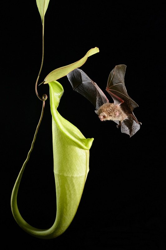 Ugliest Animals Wooly Bat Fluids