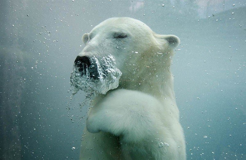 Underwater Photos Of A Polar Bear