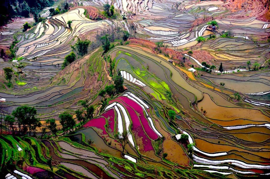 Rice Terrace Pink