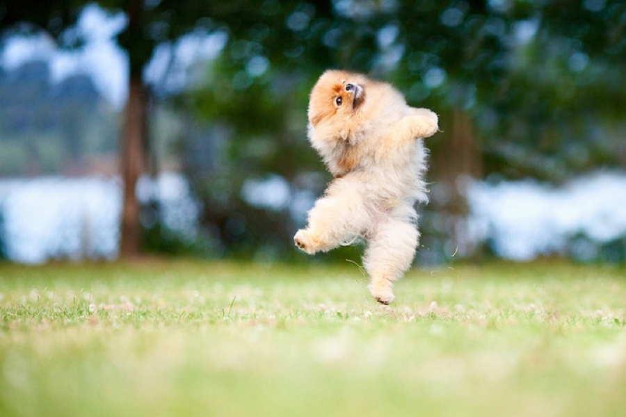 Adorable Pomeranian Air