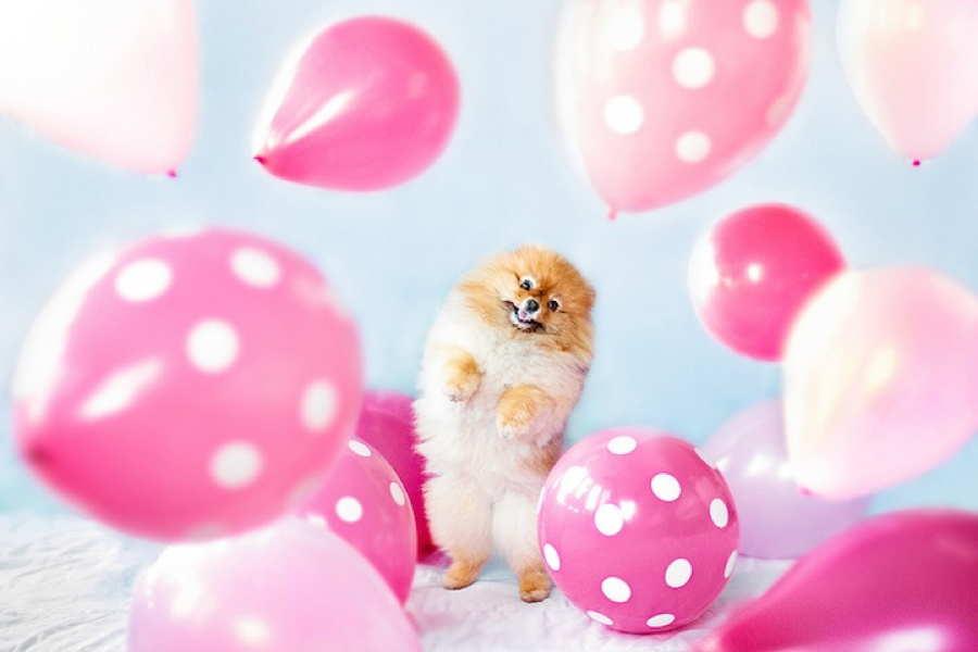 Adorable Pomeranian Balloons