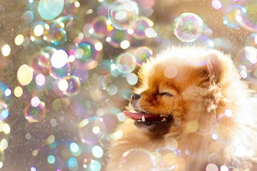 Adorable Pomeranian Bubbles