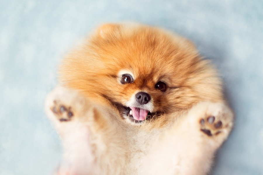 Adorable Pomeranian Face
