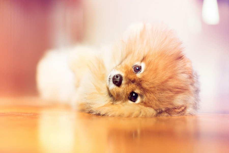 Flint Pomeranian Floor