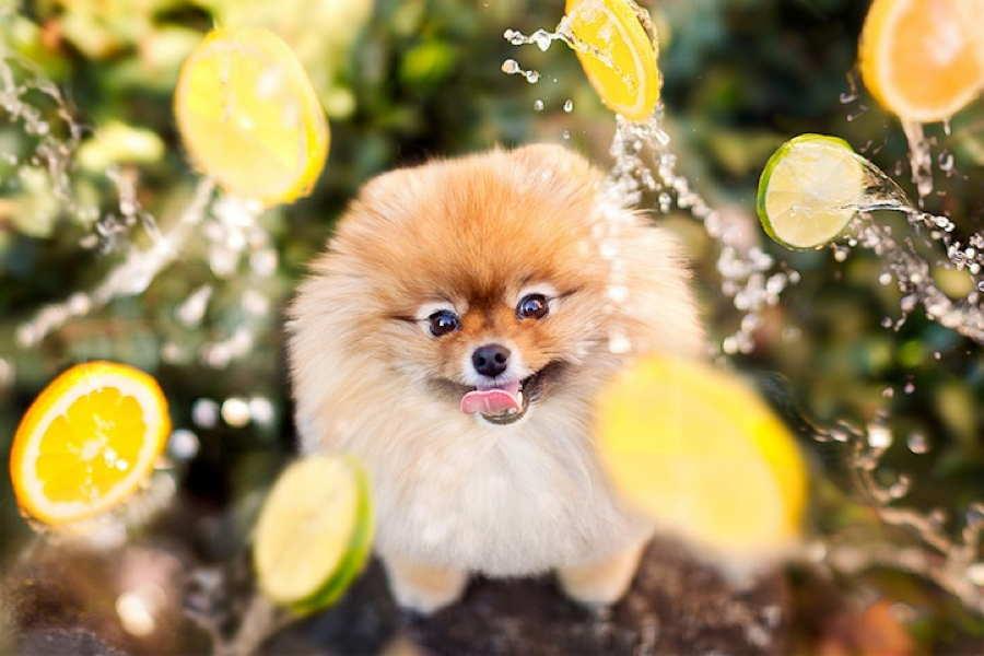 Flint Pomeranian Lemons